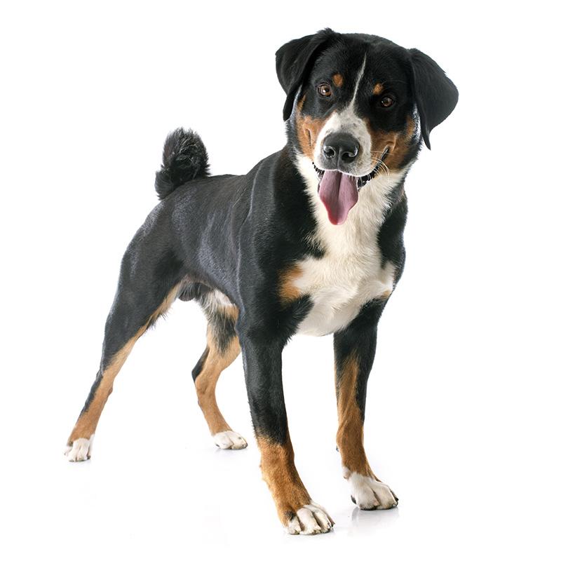 6469d8d22ab Appenzellský salašnický pes - Paper-Dog