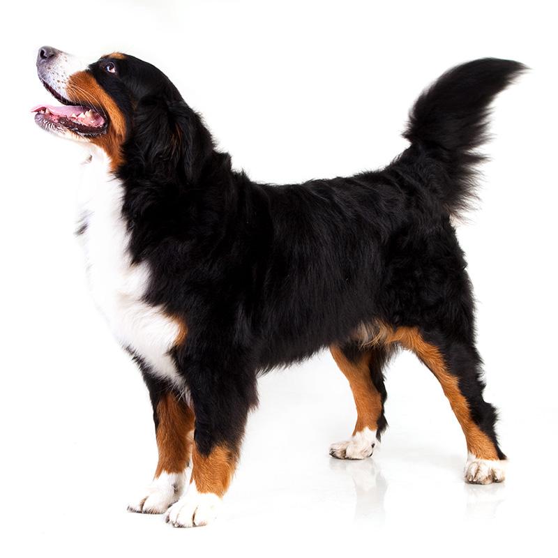 Bernsky Salasnicky Pes Paper Dog