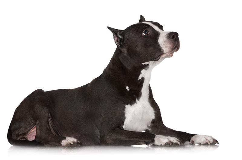 Americky Stafordsirsky Terier Paper Dog